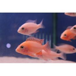 Aulonocara Firefish 5 cm