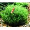 Tarrina Stringy moss