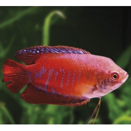 Colisa Arcoiris Coral Rojo