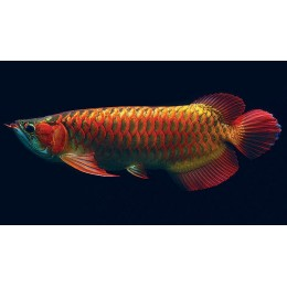 Arowana CHILLI RED