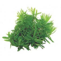 Easy Grow Didiplis diandra