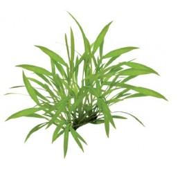 Easy Grow Helanthium Tenellum