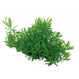 Easy Grow Ludwigia Arcuata