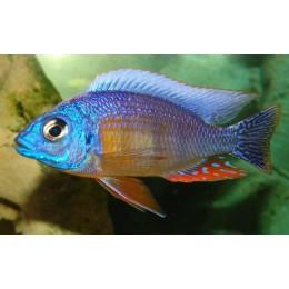 Protomelas sp. Taiwan Reef  F2