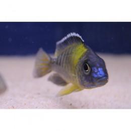 Aulonocara F1 Blue Neon 5-7 cm