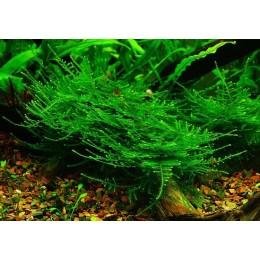 Taiwan moss Easy Grow