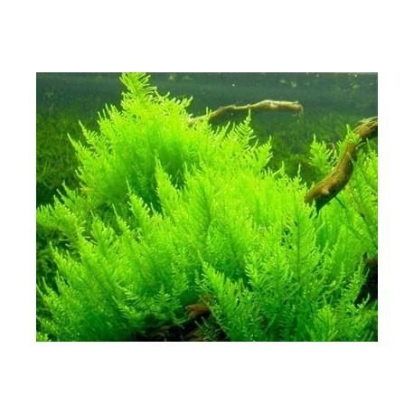 Erect Moss Easy Grow