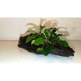 Raíz Tamaño SS con Bucephalandra Green Velvet