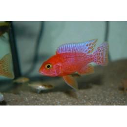 Aulonocara Coral Red