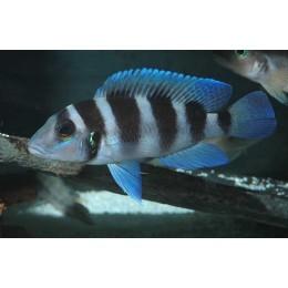 Neolamprologus tetrocephalus