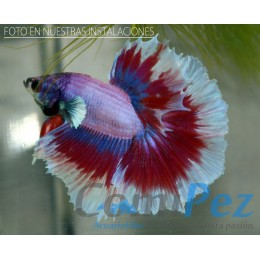 Betta Butterfly Halfmoon