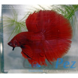 Betta Super Red Halfmoon