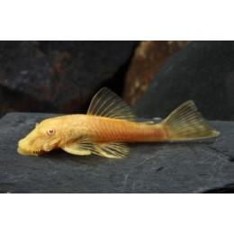 Ancistrus Gold Albino 4 cm