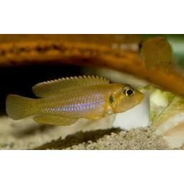 Lamprologus ocellatus Gold 3 - 3.5 cm