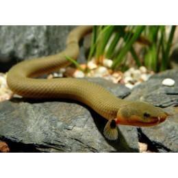 Pez serpiente calamita 25 cm