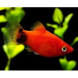 Platy Coral Rojo Mickey
