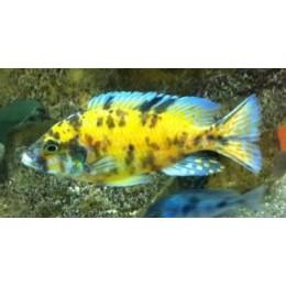 Aulonocara yellow blue marmelade 6-8 cm
