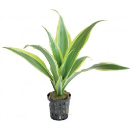 DRACAENA SANDERIANA YELLOW 5 CM POT