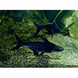 Tiburón pangasio