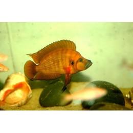 Altolamprologus compressiceps Kigoma Orange
