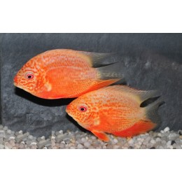 Heros Severum Orange Pts Rouge