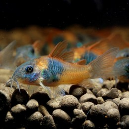 Corydora orange venezuela