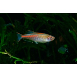 Danio Glowlight