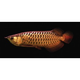 Arowana RED TAIL GOLDEN