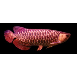 Arowana HI BACK GOLDEN