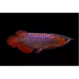 Arowana VIOLET FUSION SUPER RED