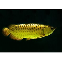 Arowana GOLDEN CROSS BACK