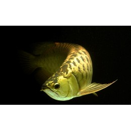Arowana SUPER GRADE PREMIUN HIGH GOLD CROSS BACK