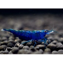 Gamba Blue Star