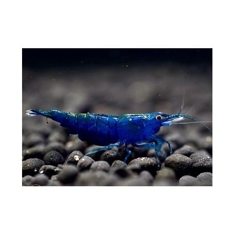 Gamba Blue Velvet A+