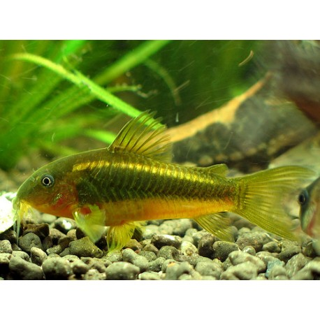 Corydora Oro Verde