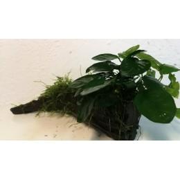 Raíz tamaño S con musgo, Anubia y Microsorium