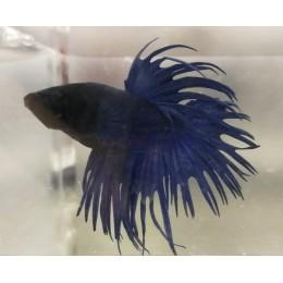Betta Blue Crowntail