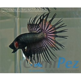 Betta Black Orchid Crowntail