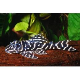 Hypancistrus Debilittera SP. L 129 Columbia Zebra