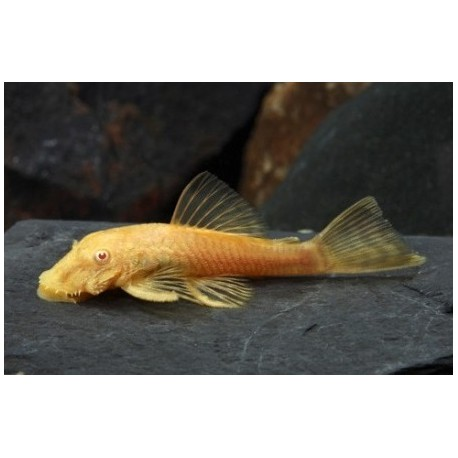 Ancistrus Gold Albino