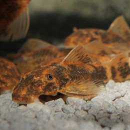 Ancistrus LDA 16 RED/BROWN 4 cm