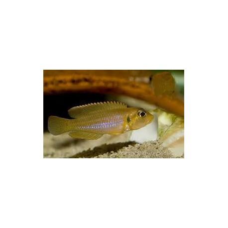 Lamprologus ocellatus Gold