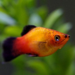 Platy Sunset Wagatil