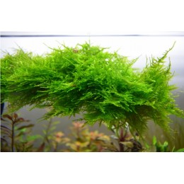 Spiky Moss Easy Grow