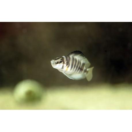 Altolamprologus Compressiceps Sumbu Shell 2,5-3