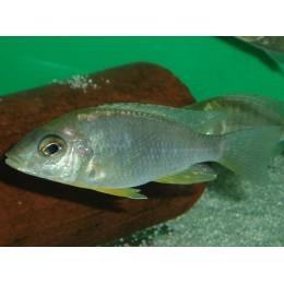 Aulonocara gertrudae Lupingu Hembra F1 7-9