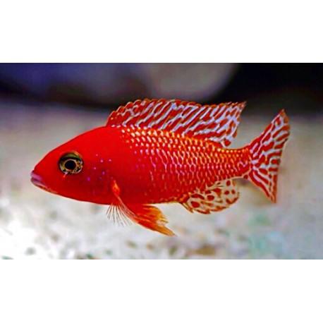 Aulonocara Firefish Super Red 4-5 cm