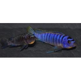 Tropheops kumwera Kanchedza 13-15 F3