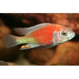 Haplochromis Salmon Hippo Point 12-15