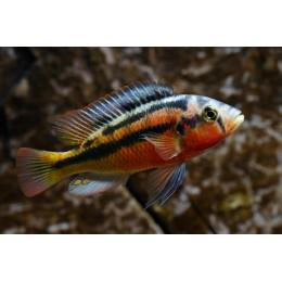 Haplochromis sauvagei (Rock Kribensis) 5-7 cm